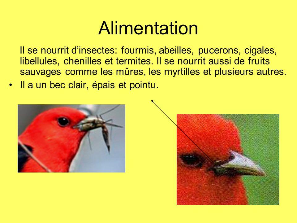 Alimentation Il se nourrit dinsectes: fourmis, abeilles, pucerons, cigales, libellules, chenilles et termites. Il se nourrit aussi de fruits sauvages