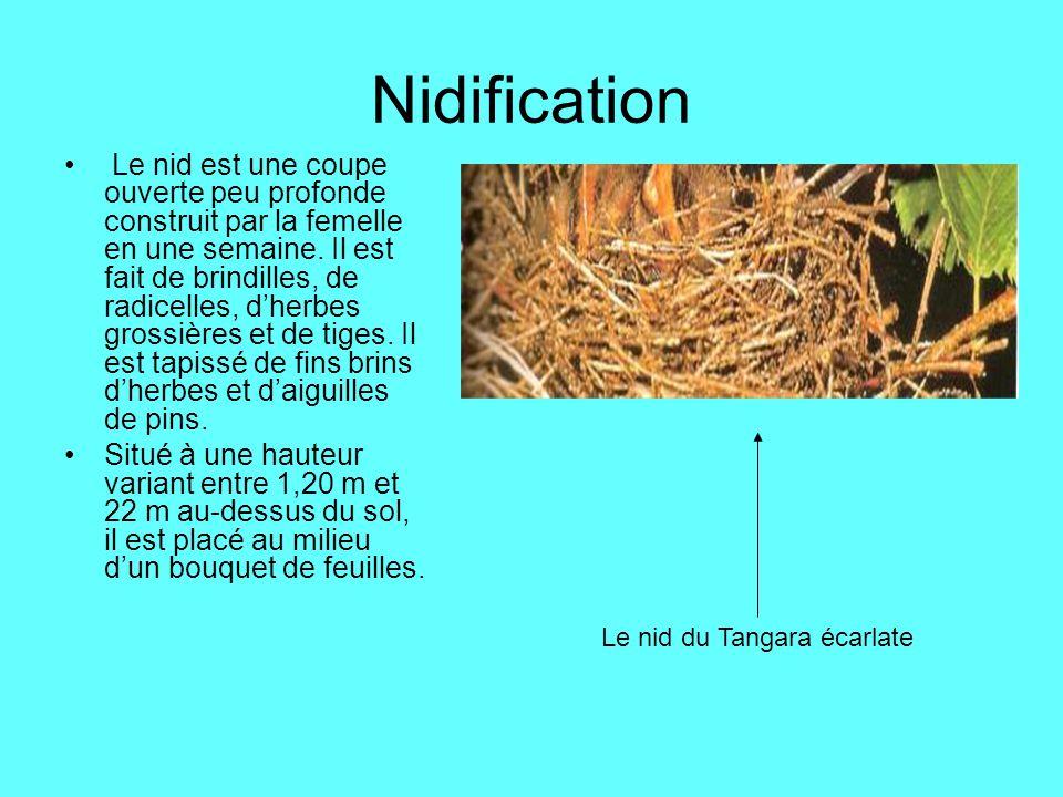 Nidification Le nid est une coupe ouverte peu profonde construit par la femelle en une semaine. Il est fait de brindilles, de radicelles, dherbes gros