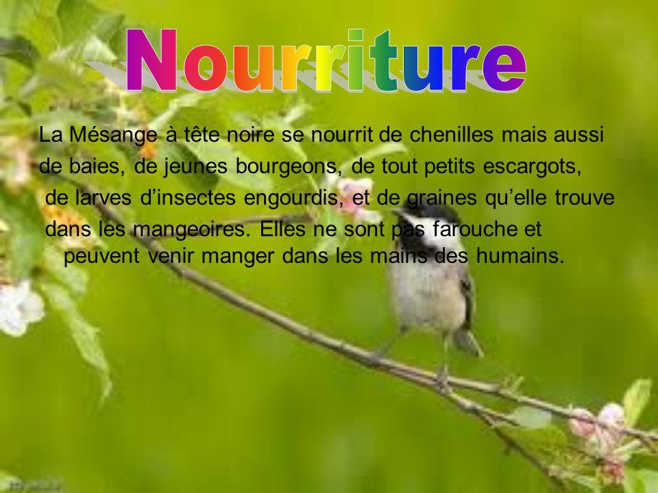 Cet oiseau est petit et léger.Elle peut mesurer entre 12 et 14 cm et elle peut peser entre 9 et 14 gr.Elle a le ventre blanc, les joues blanches, et l