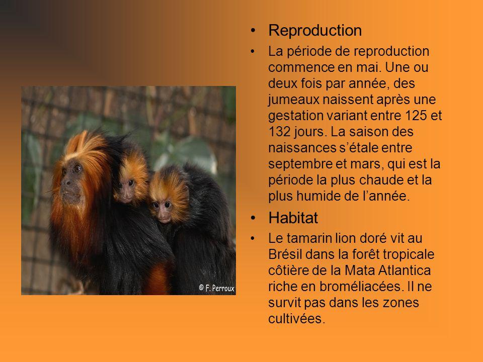 Reproduction La période de reproduction commence en mai. Une ou deux fois par année, des jumeaux naissent après une gestation variant entre 125 et 132