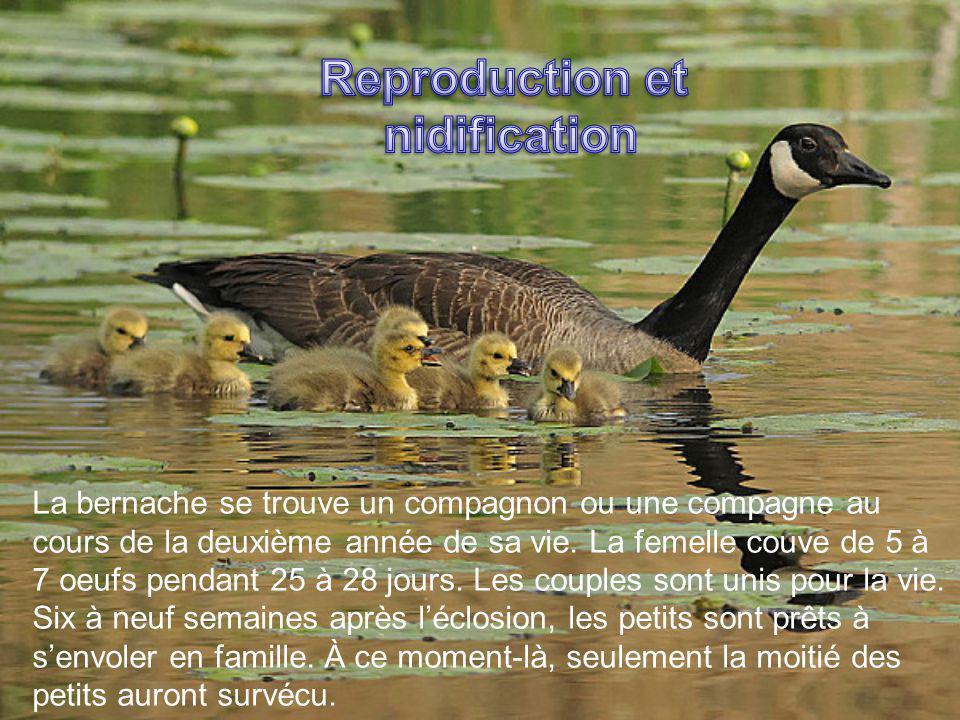 La bernache se trouve un compagnon ou une compagne au cours de la deuxième année de sa vie. La femelle couve de 5 à 7 oeufs pendant 25 à 28 jours. Les