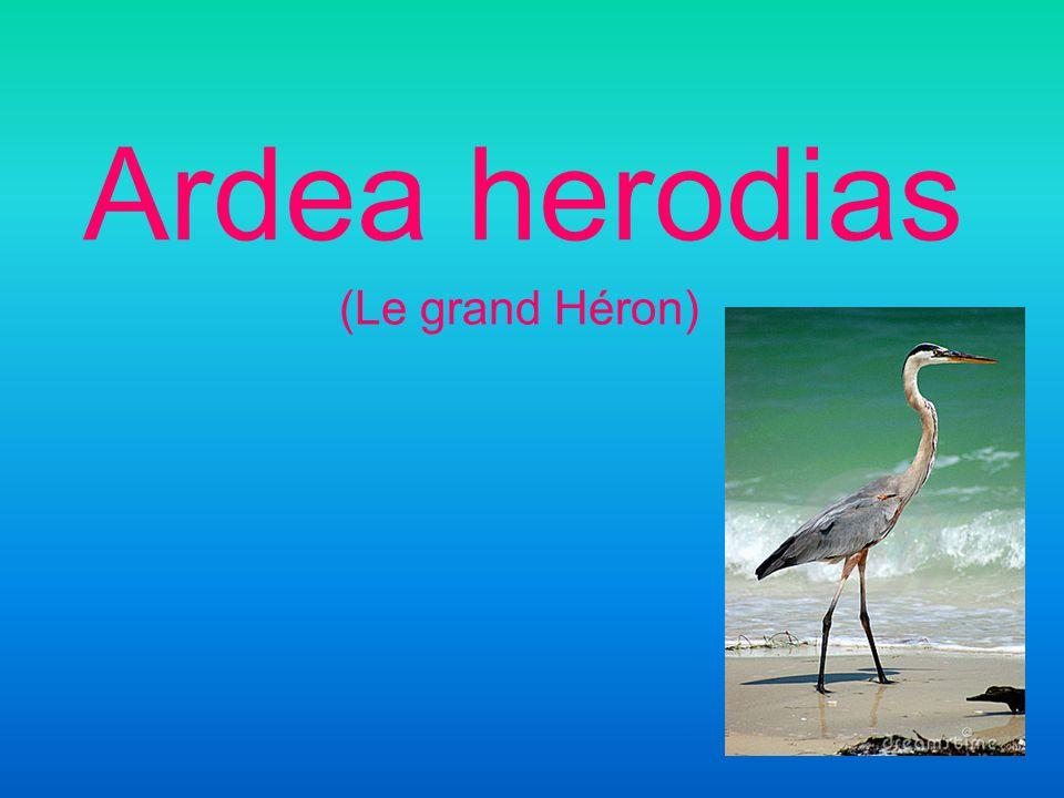 Ardea herodias (Le grand Héron)