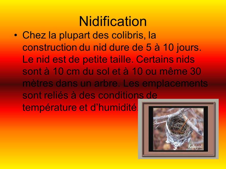 Nidification Chez la plupart des colibris, la construction du nid dure de 5 à 10 jours.