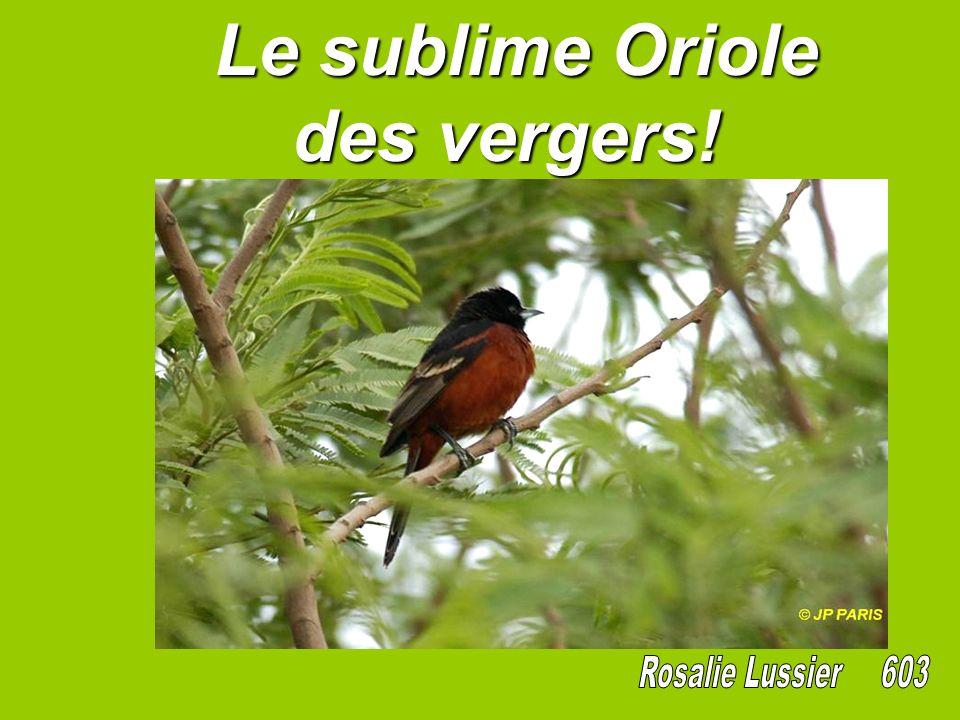 Le sublime Oriole des vergers! Le sublime Oriole des vergers!