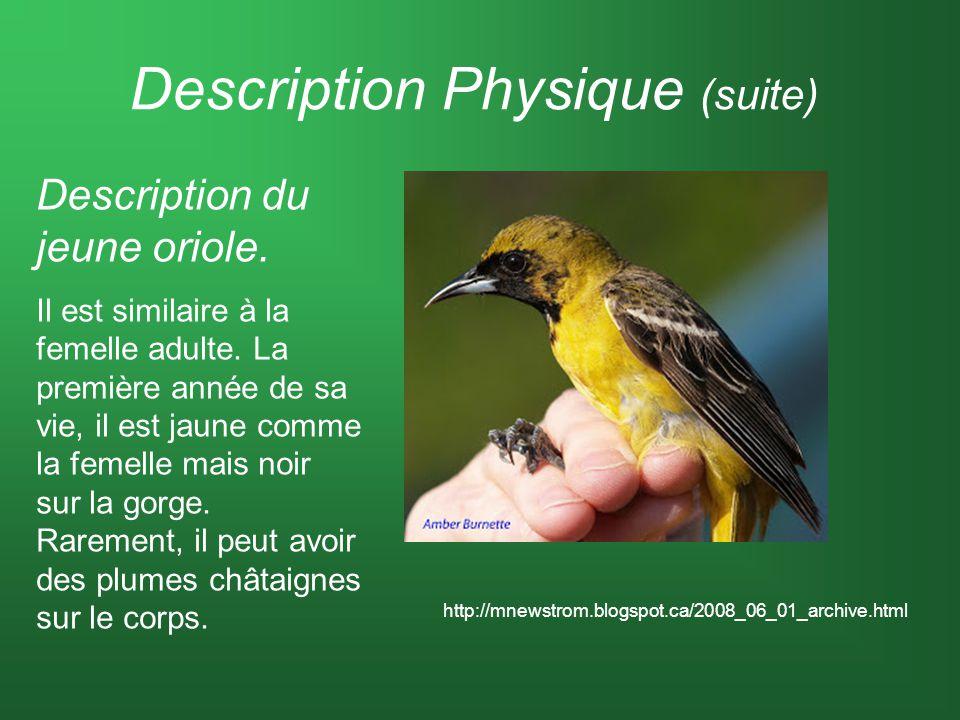 Description Physique (suite) Description du jeune oriole. Il est similaire à la femelle adulte. La première année de sa vie, il est jaune comme la fem