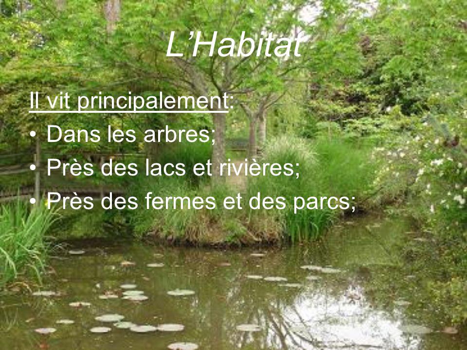 LHabitat Il vit principalement: Dans les arbres; Près des lacs et rivières; Près des fermes et des parcs;