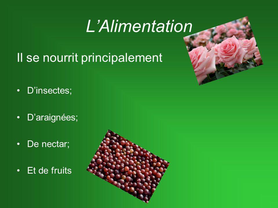 LAlimentation Il se nourrit principalement Dinsectes; Daraignées; De nectar; Et de fruits