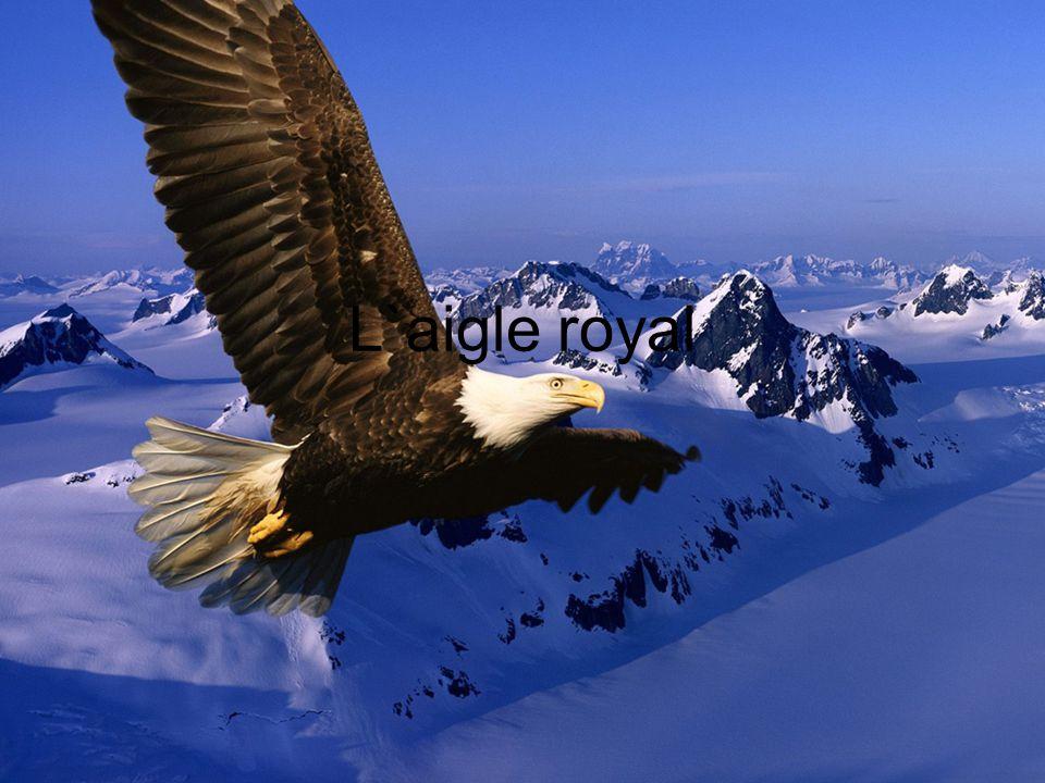 L`aigle royal
