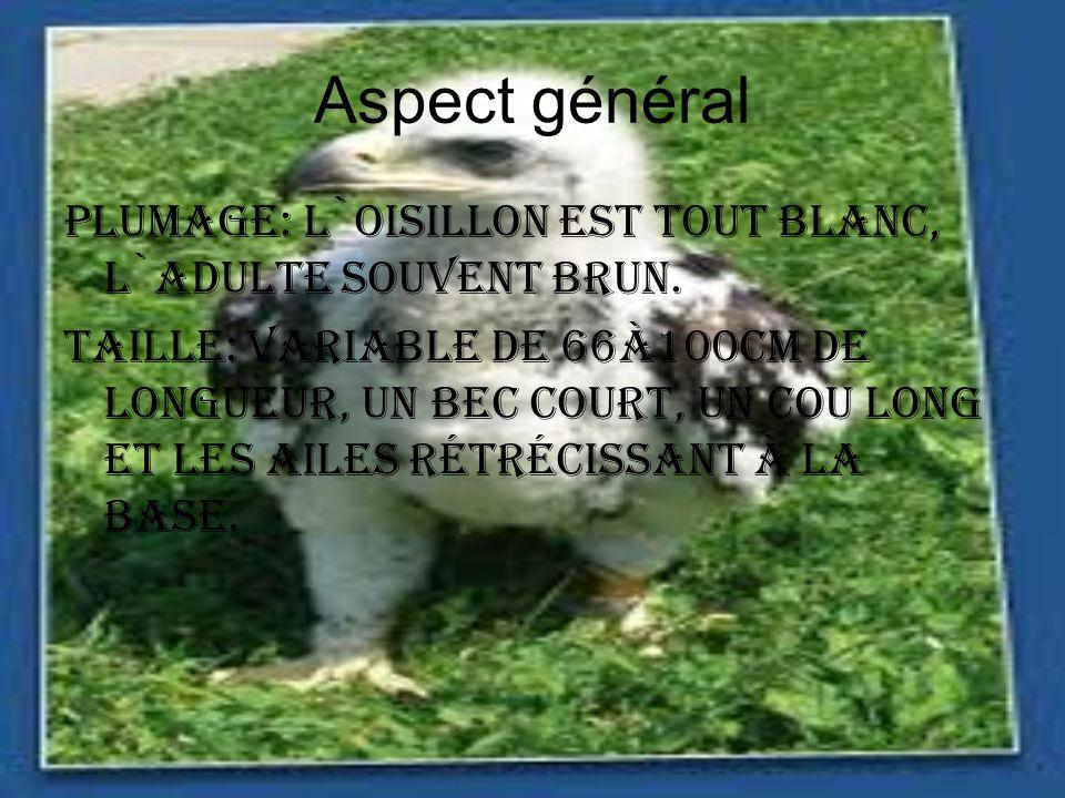 Aspect général Plumage: L`oisillon est tout blanc, l`adulte souvent brun. Taille: variable de 66à100cm de longueur, un bec court, un cou long et les a