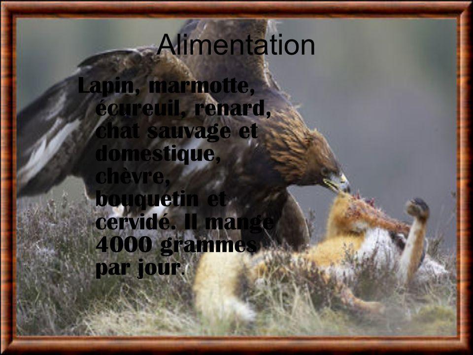 Alimentation Lapin, marmotte, écureuil, renard, chat sauvage et domestique, chèvre, bouquetin et cervidé. Il mange 4000 grammes par jour.