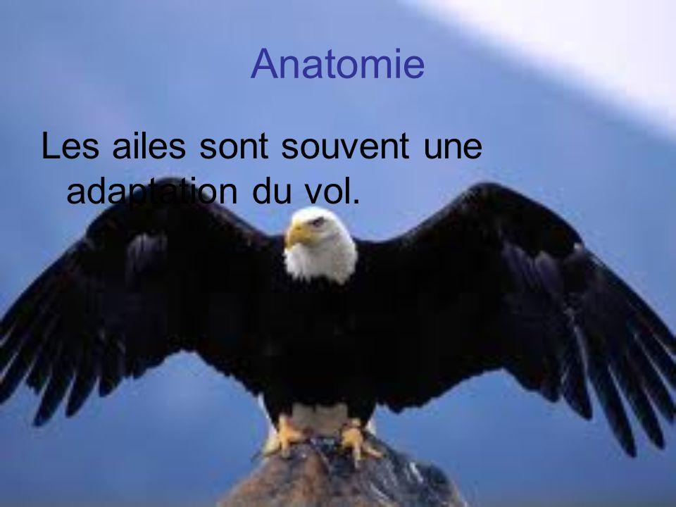 Anatomie Les ailes sont souvent une adaptation du vol.