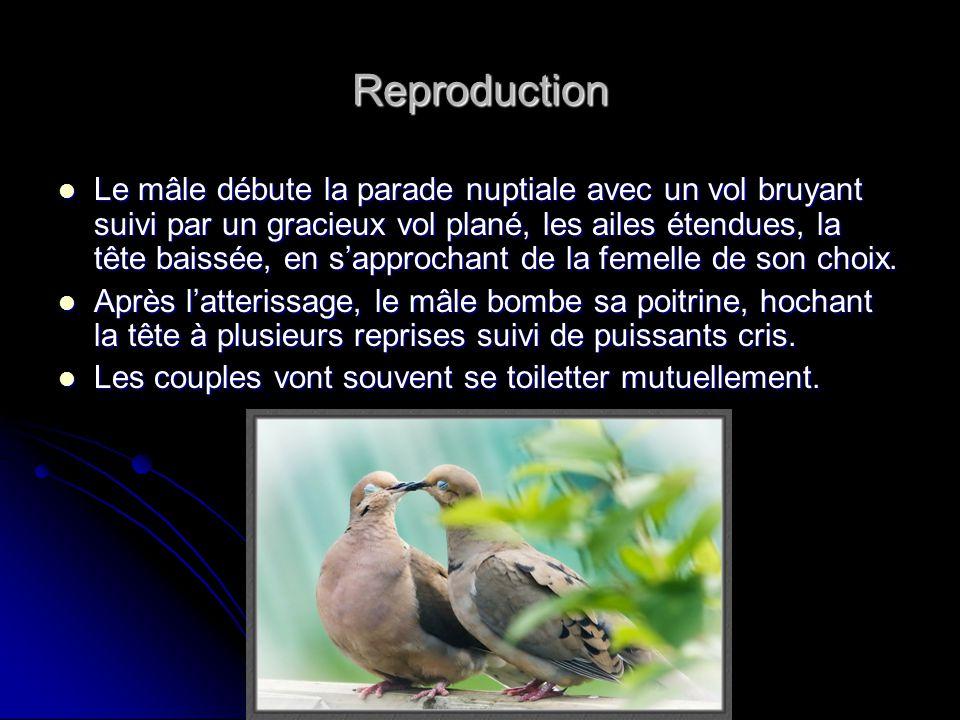 Reproduction Le mâle débute la parade nuptiale avec un vol bruyant suivi par un gracieux vol plané, les ailes étendues, la tête baissée, en sapprochan