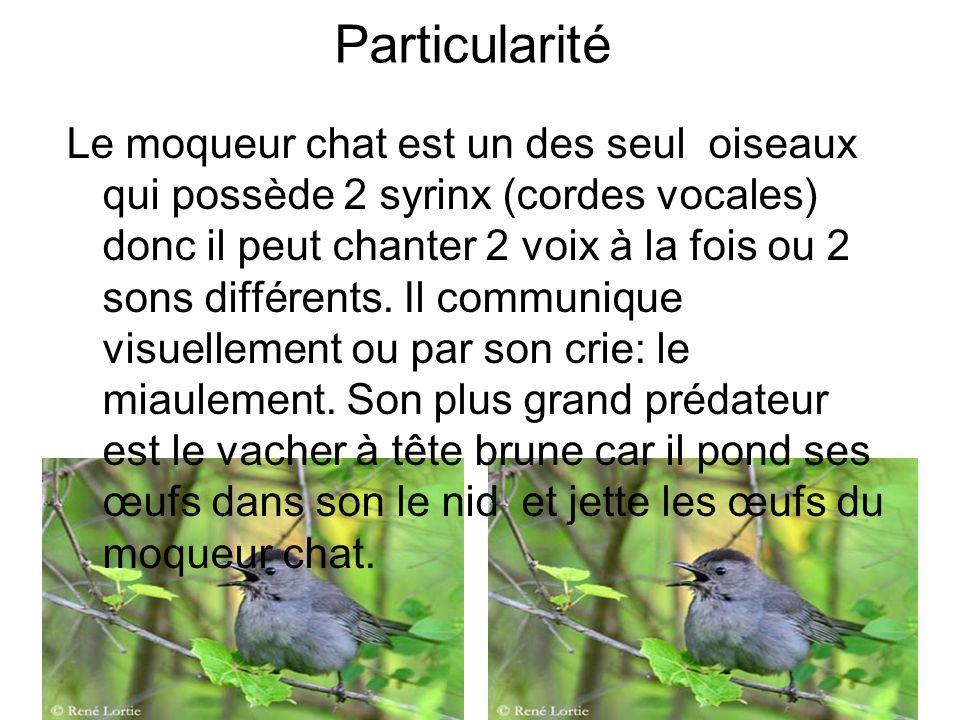 Particularité Le moqueur chat est un des seul oiseaux qui possède 2 syrinx (cordes vocales) donc il peut chanter 2 voix à la fois ou 2 sons différents.