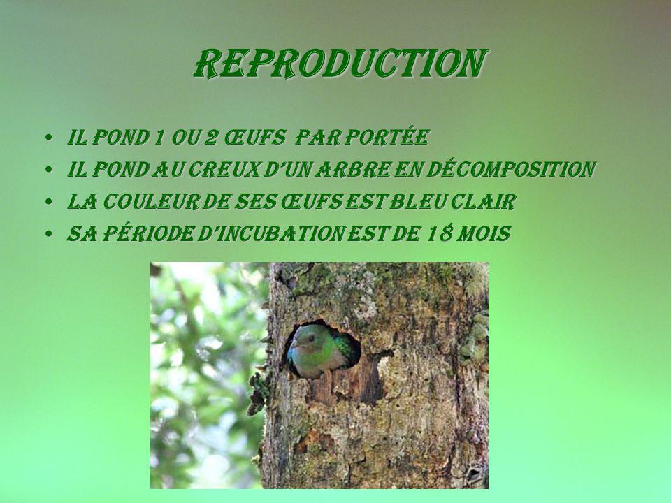 reproduction il pond 1 ou 2 œufs par portéeil pond 1 ou 2 œufs par portée Il pond au creux dun arbre en décompositionIl pond au creux dun arbre en décomposition La couleur de ses œufs est bleu clairLa couleur de ses œufs est bleu clair Sa période dincubation est de 18 moisSa période dincubation est de 18 mois
