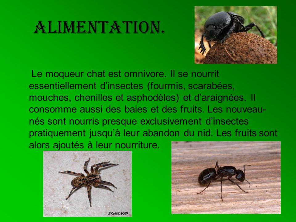 Alimentation. Le moqueur chat est omnivore. Il se nourrit essentiellement dinsectes (fourmis, scarabées, mouches, chenilles et asphodèles) et daraigné