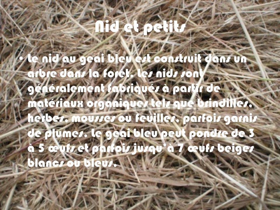 Nid et petits Le nid au geai bleu est construit dans un arbre dans la forêt. Les nids sont généralement fabriqués à partir de matériaux organiques tel