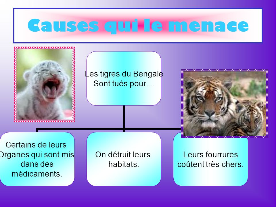 Causes qui le menace Les tigres du Bengale Sont tués pour… Certains de leurs Organes qui sont mis dans des médicaments. On détruit leurs habitats. Leu