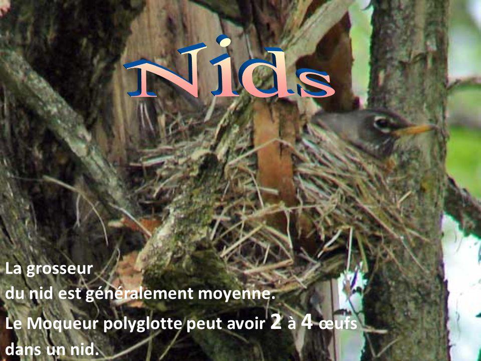 La grosseur du nid est généralement moyenne. Le Moqueur polyglotte peut avoir 2 à 4 œufs dans un nid.
