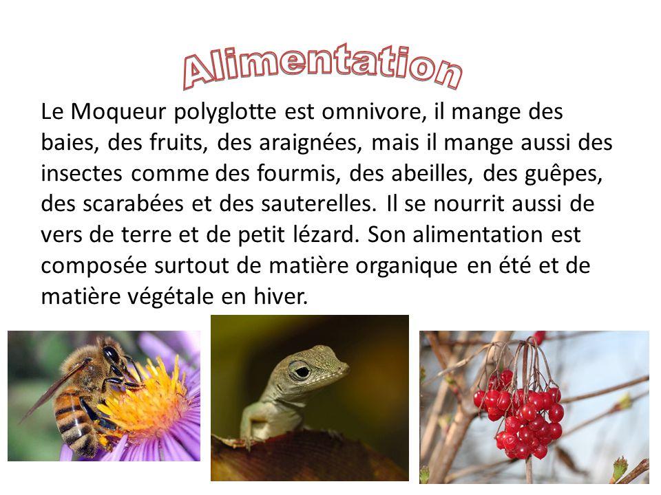 Le Moqueur polyglotte est omnivore, il mange des baies, des fruits, des araignées, mais il mange aussi des insectes comme des fourmis, des abeilles, des guêpes, des scarabées et des sauterelles.