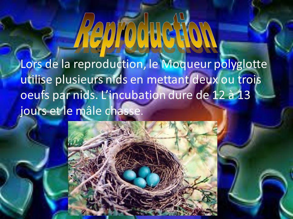 Lors de la reproduction, le Moqueur polyglotte utilise plusieurs nids en mettant deux ou trois oeufs par nids. Lincubation dure de 12 à 13 jours et le
