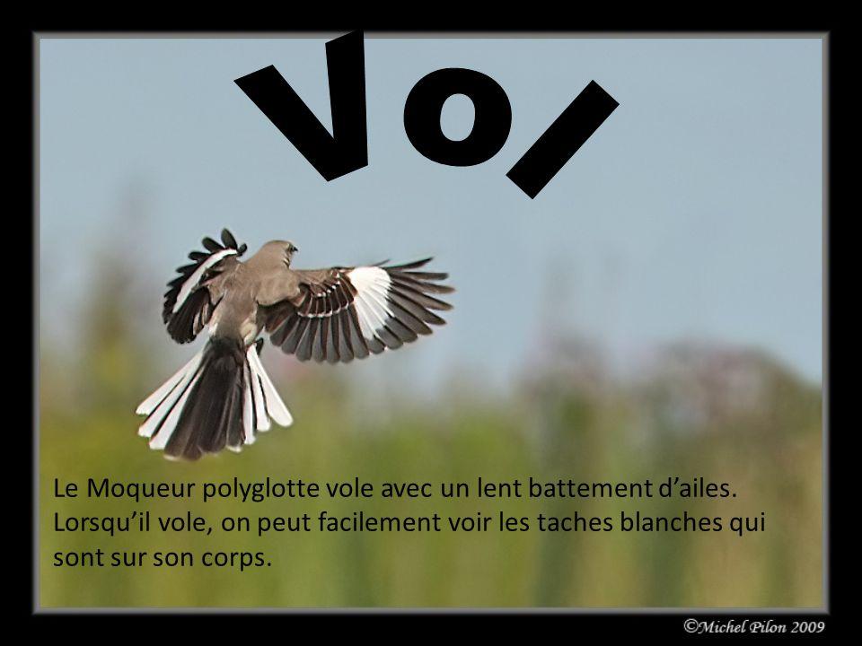 Le Moqueur polyglotte vole avec un lent battement dailes. Lorsquil vole, on peut facilement voir les taches blanches qui sont sur son corps.