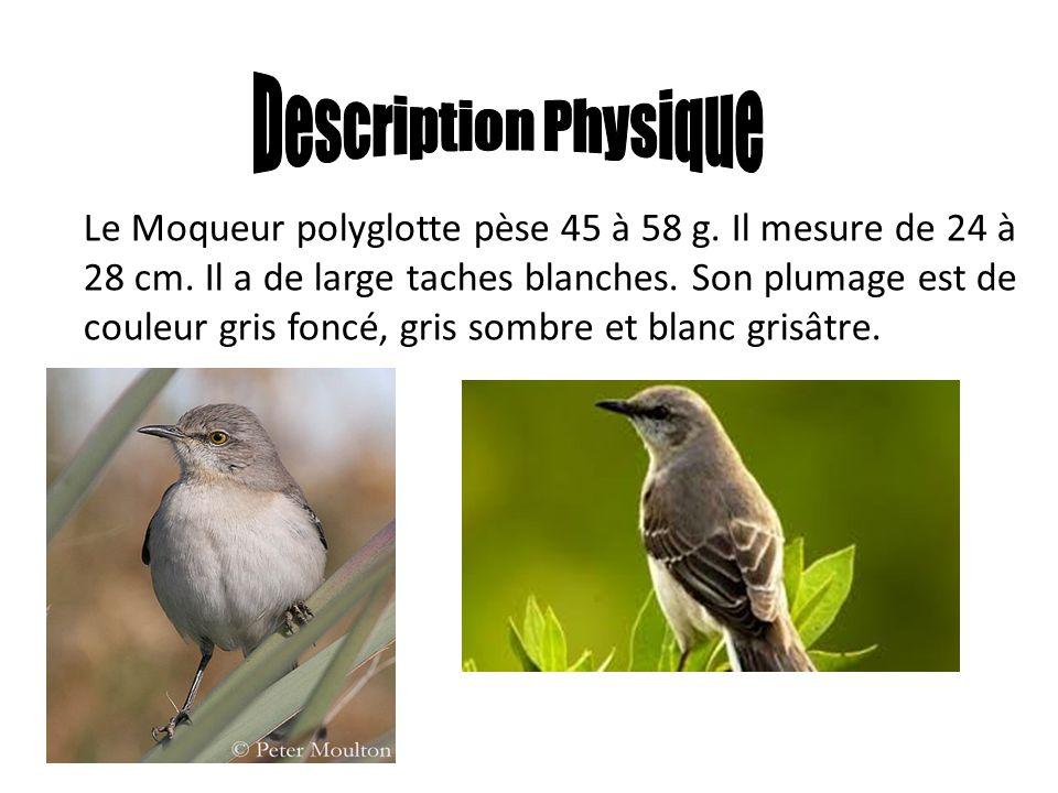 Le Moqueur polyglotte pèse 45 à 58 g. Il mesure de 24 à 28 cm. Il a de large taches blanches. Son plumage est de couleur gris foncé, gris sombre et bl