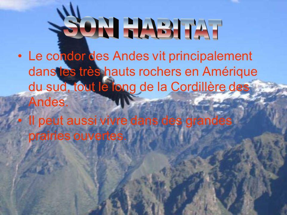Le condor des Andes vit principalement dans les très hauts rochers en Amérique du sud, tout le long de la Cordillère des Andes. Il peut aussi vivre da