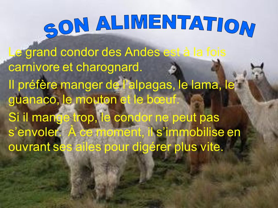 Le grand condor des Andes est à la fois carnivore et charognard. Il préfère manger de lalpagas, le lama, le guanaco, le mouton et le bœuf. Si il mange