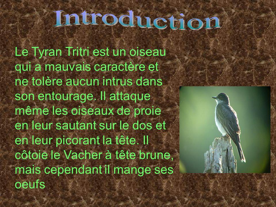 Le Tyran Tritri est un oiseau qui a mauvais caractère et ne tolère aucun intrus dans son entourage. Il attaque même les oiseaux de proie en leur sauta