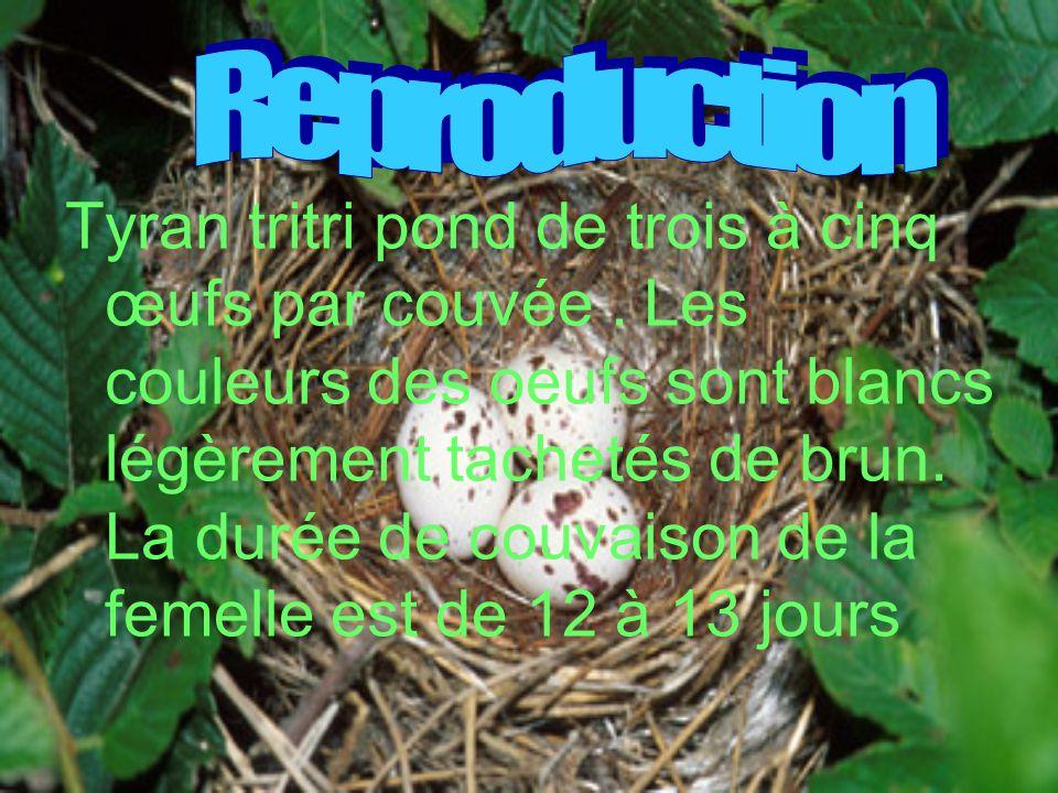 Tyran tritri pond de trois à cinq œufs par couvée. Les couleurs des oeufs sont blancs légèrement tachetés de brun. La durée de couvaison de la femelle