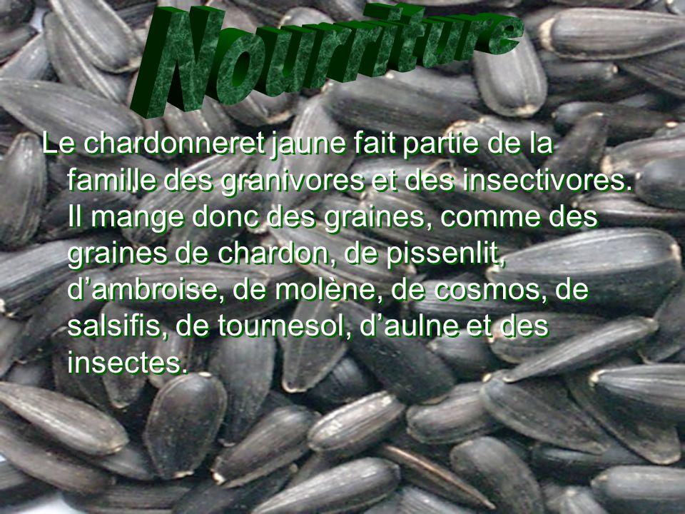 Le chardonneret jaune fait partie de la famille des granivores et des insectivores. Il mange donc des graines, comme des graines de chardon, de pissen