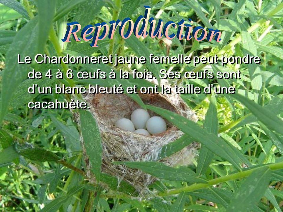 Le Chardonneret jaune femelle peut pondre de 4 à 6 œufs à la fois. Ses œufs sont dun blanc bleuté et ont la taille dune cacahuète.