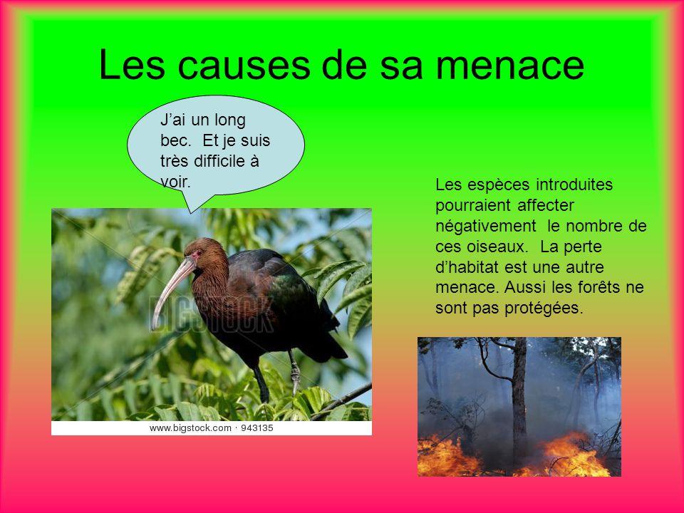 Les causes de sa menace Les espèces introduites pourraient affecter négativement le nombre de ces oiseaux.