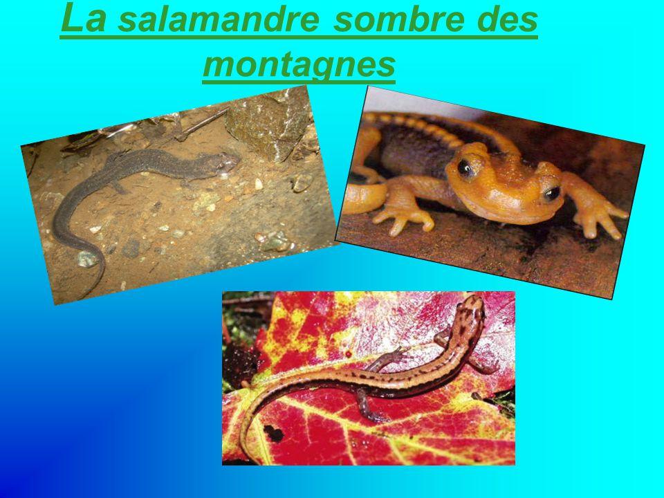 La salamandre sombre des montagnes