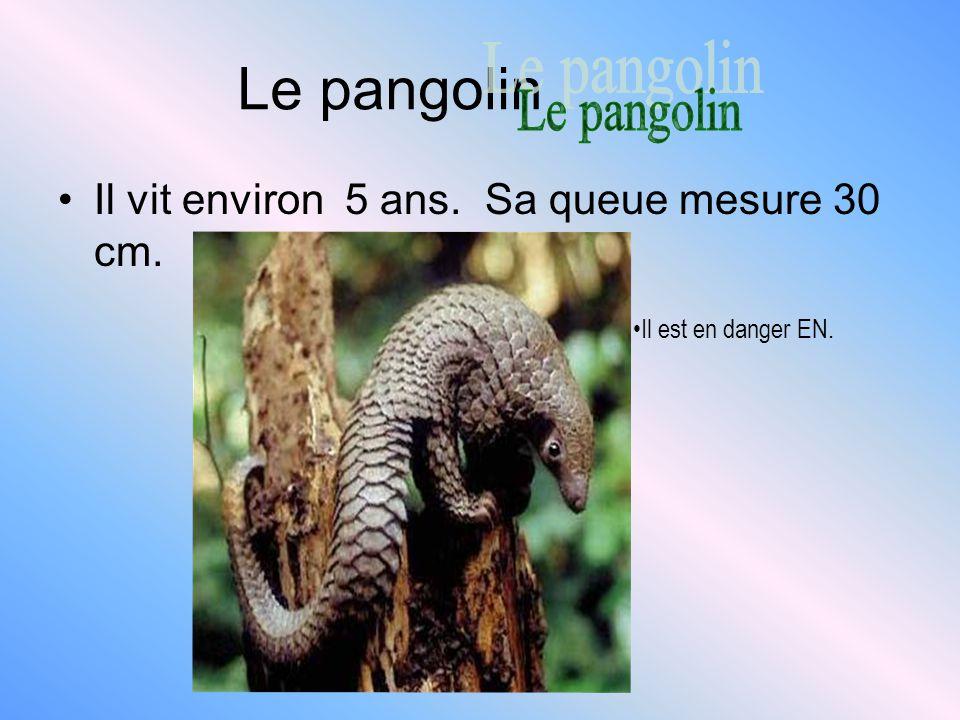 Le pangolin Il vit environ 5 ans. Sa queue mesure 30 cm. Il est en danger EN.