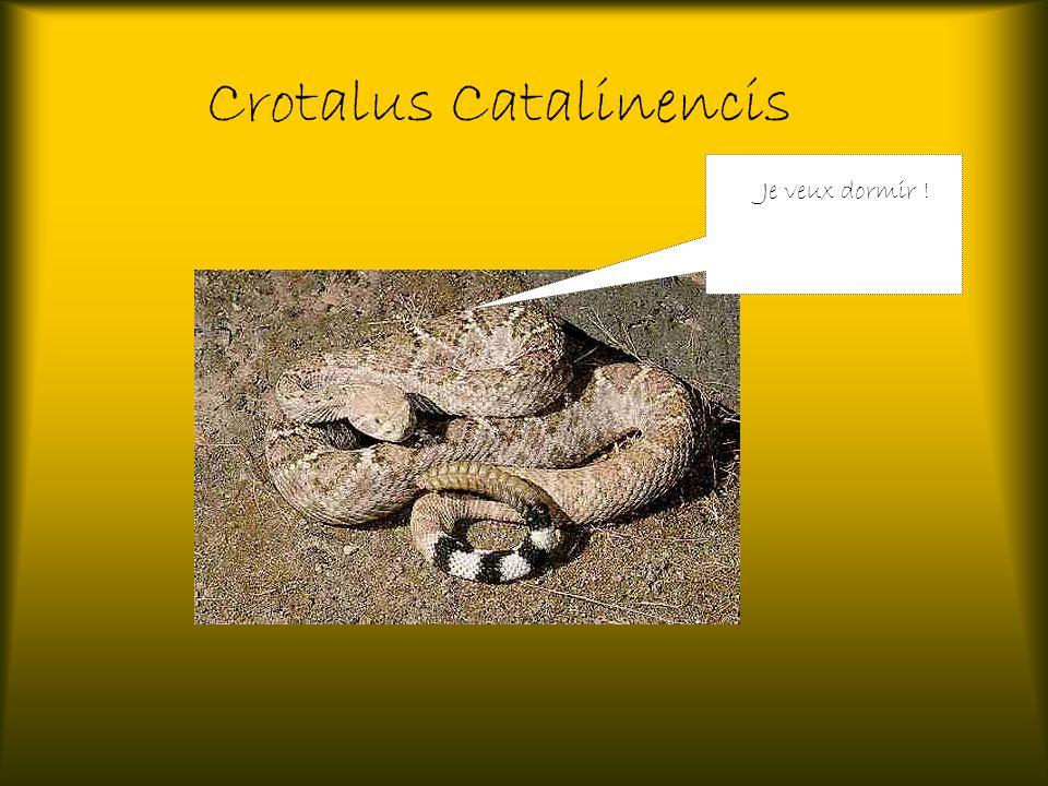 Crotalus Catalinencis Je veux dormir !