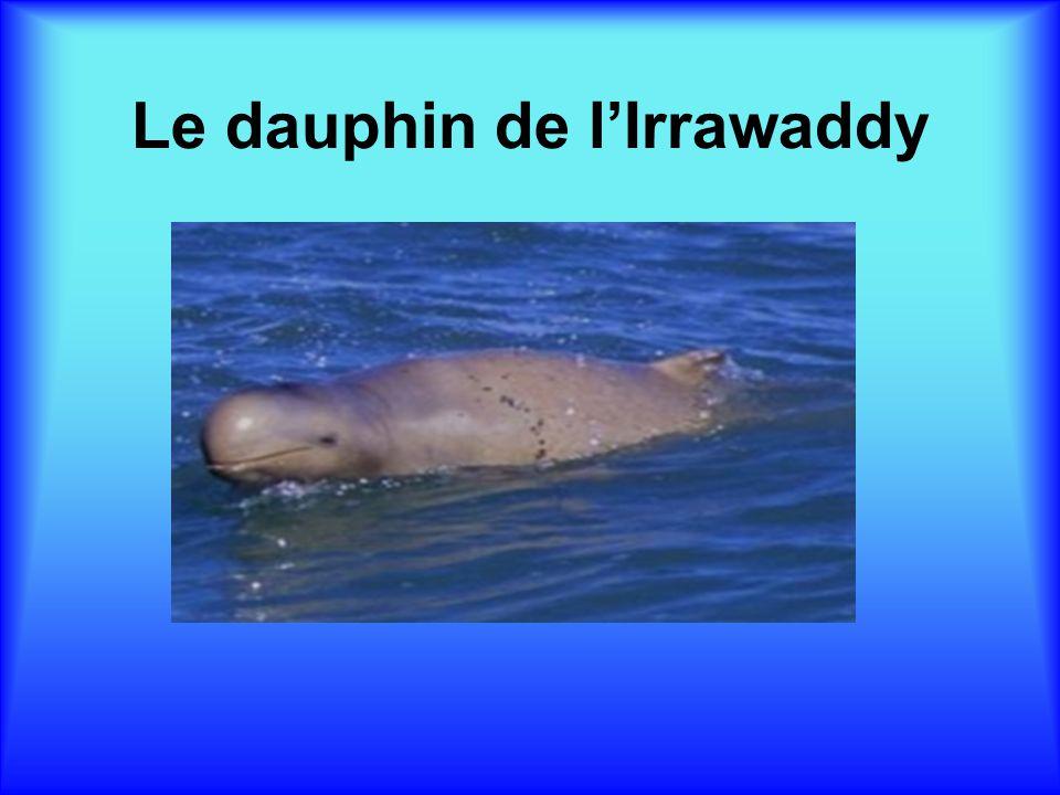 Le dauphin de lIrrawaddy