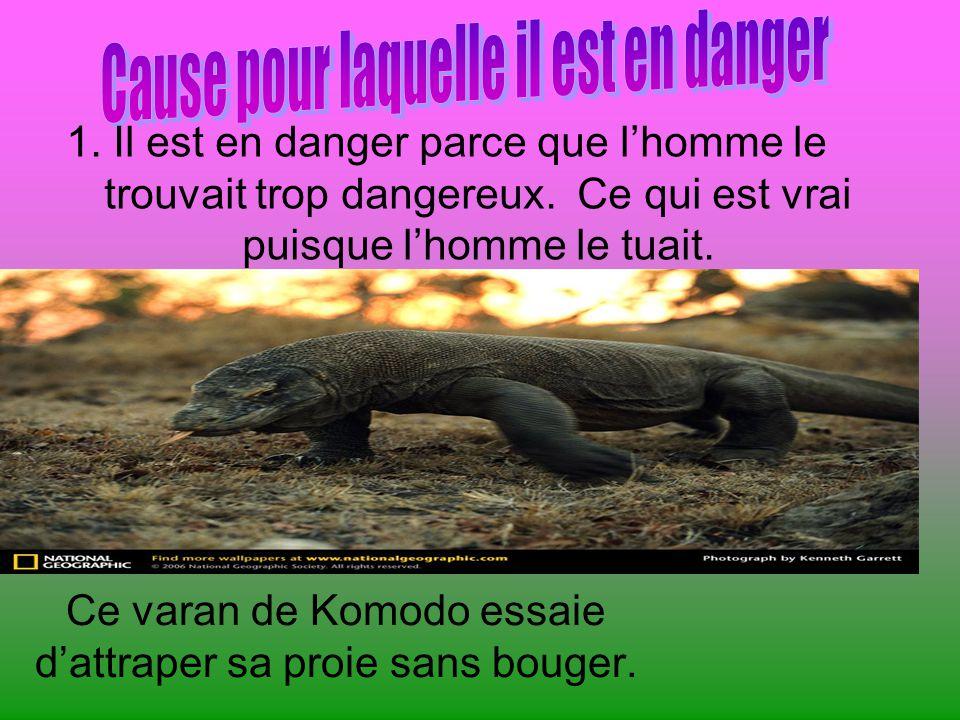 Ce varan de Komodo essaie dattraper sa proie sans bouger.