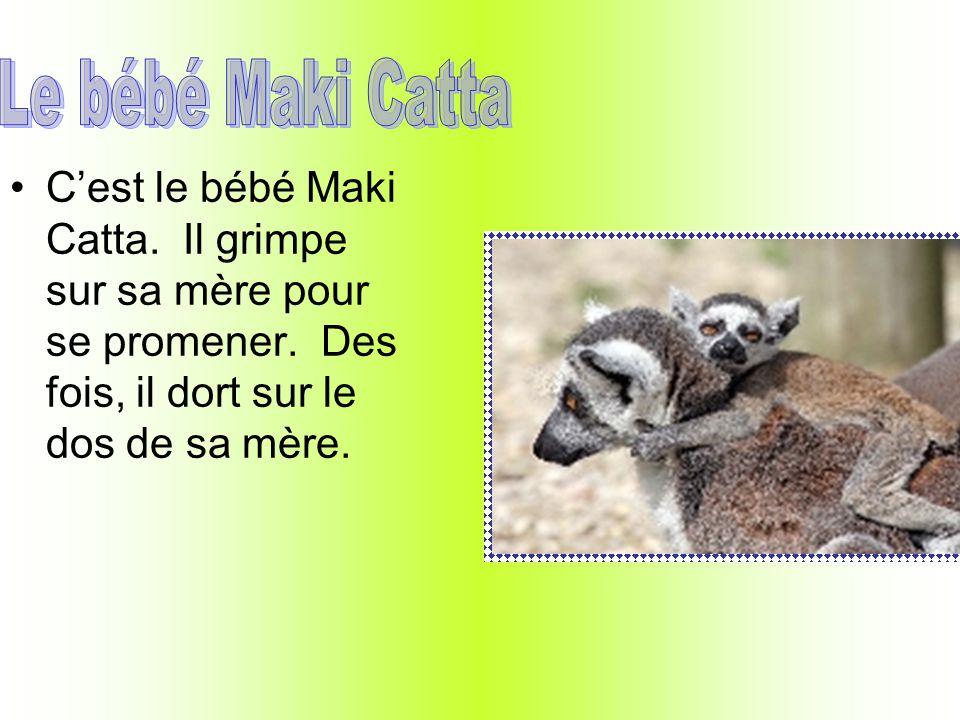 Cest le bébé Maki Catta.Il grimpe sur sa mère pour se promener.