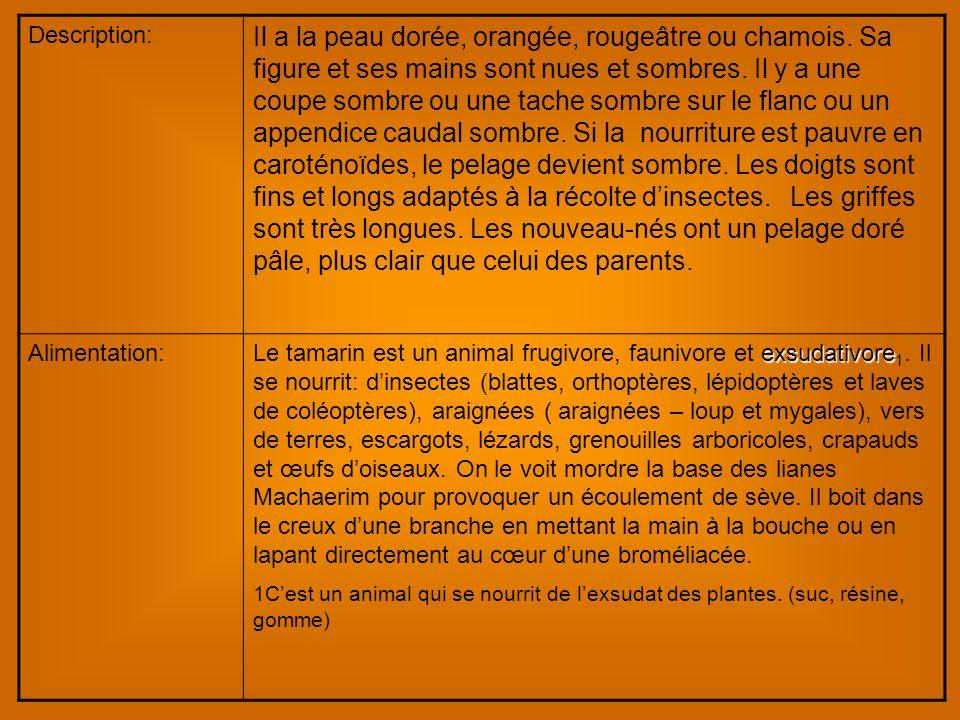 Description: Il a la peau dorée, orangée, rougeâtre ou chamois.