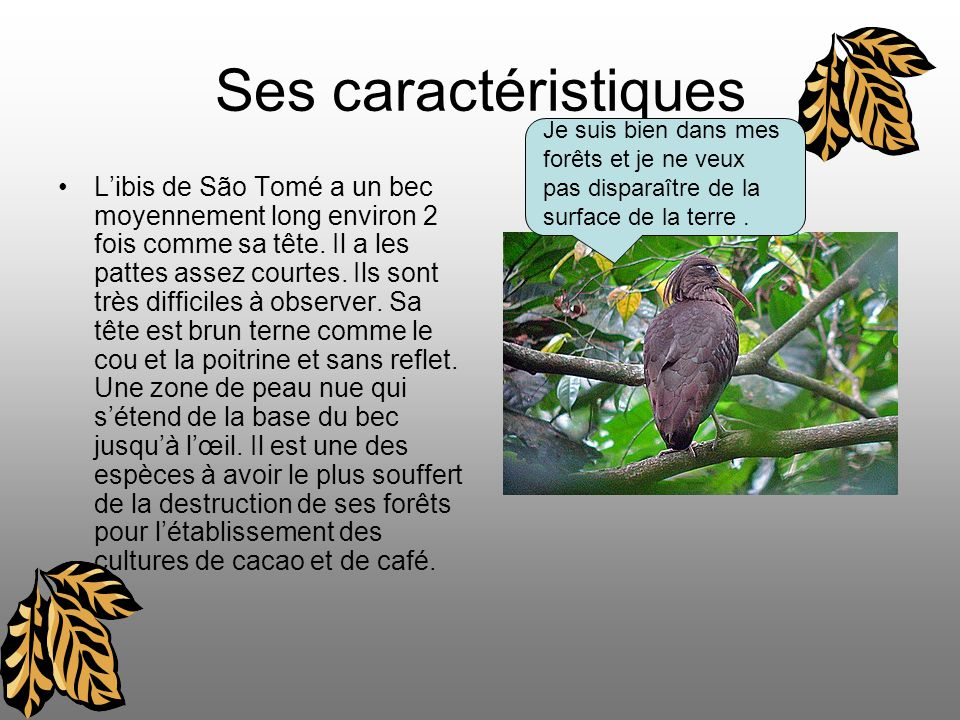 Ses caractéristiques Libis de São Tomé a un bec moyennement long environ 2 fois comme sa tête.