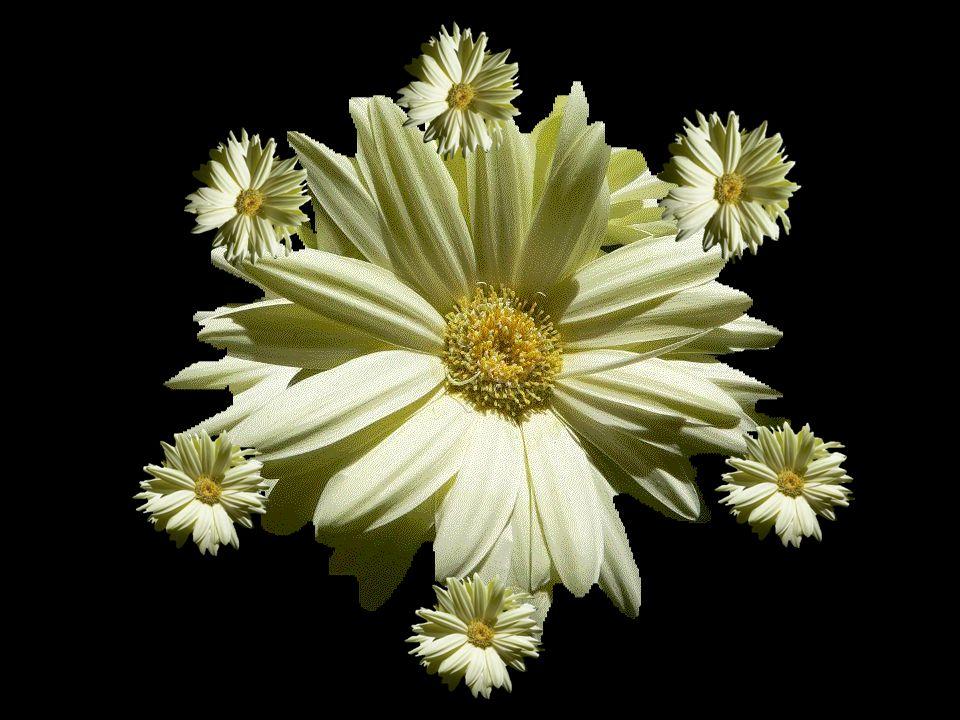 Les fleurs de la vie que j'effeuille comme les pétales de marguerites.. Je t'aime.. un peu.. beaucoup.. passionnément.. à la folie.. Comme lorsque j'é