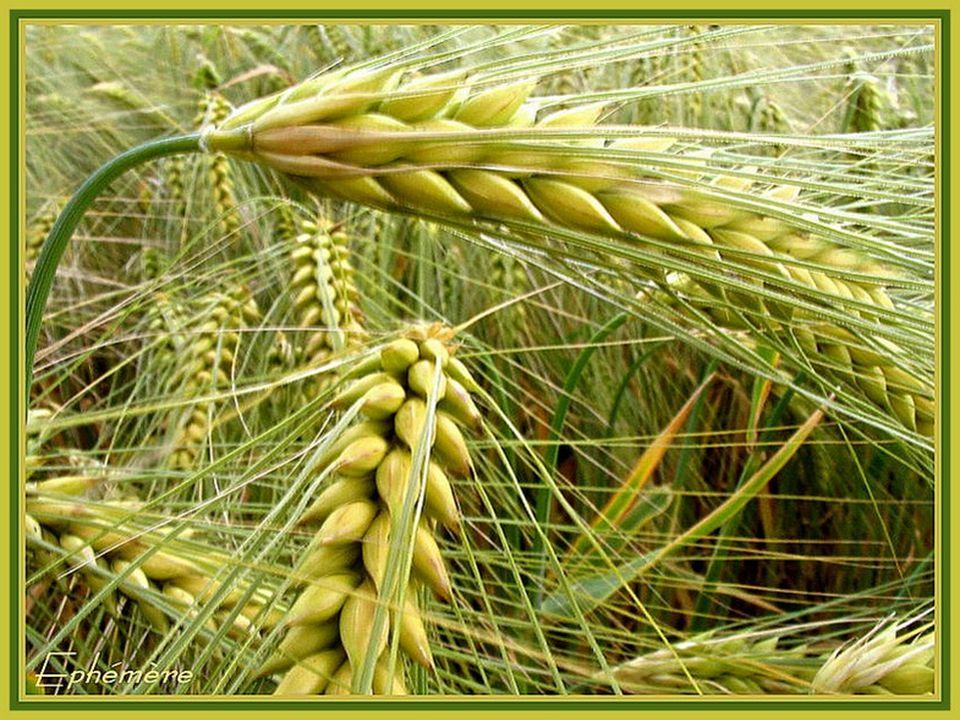 Reconnaissant, tous deux, la Dame auréolée, Les blés courbent le front devant lImmaculée.