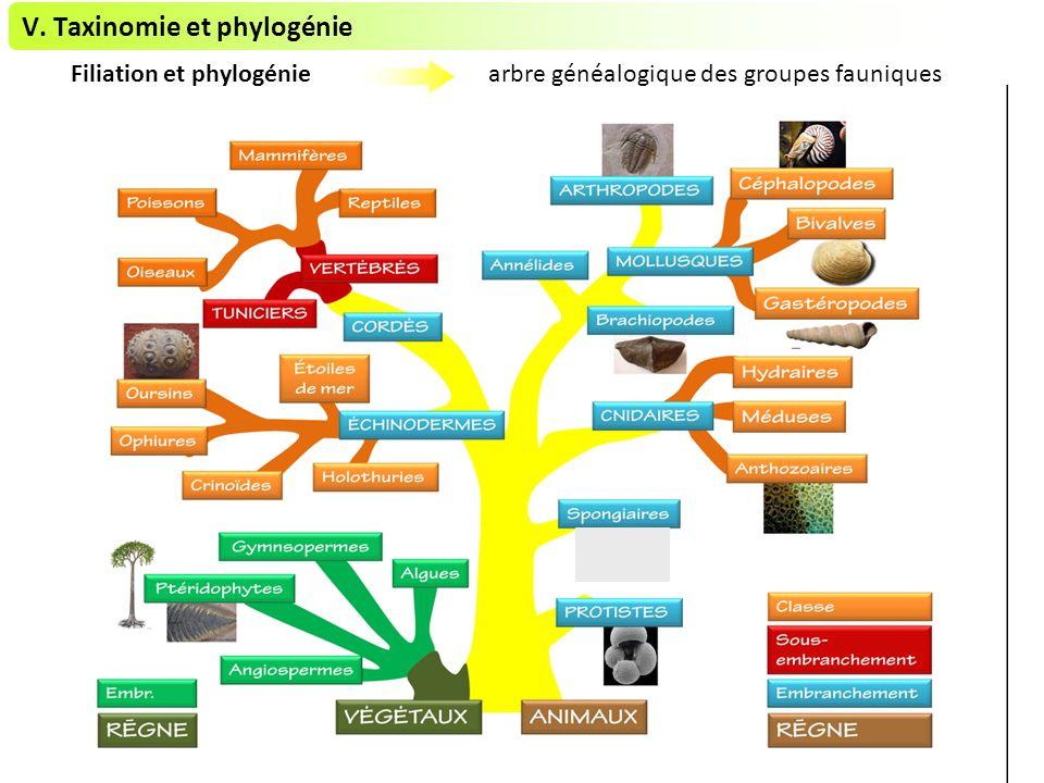 V. Taxinomie et phylogénie Filiation et phylogénie arbre généalogique des groupes fauniques