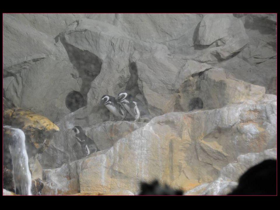 Au royaume des pingouins manchots