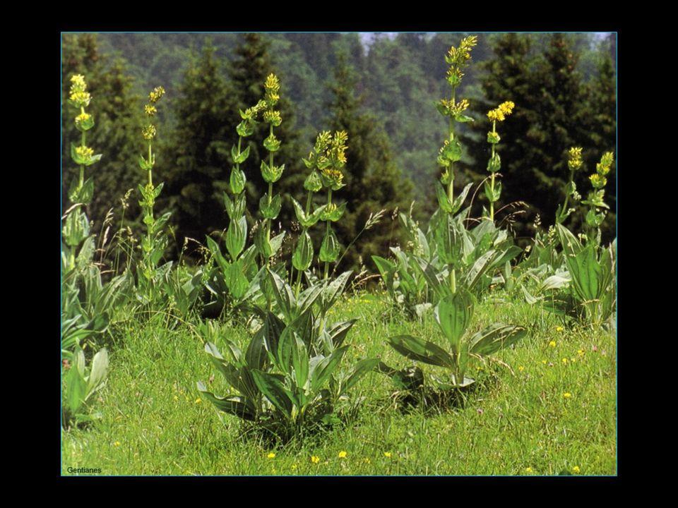 Découvrir lAvèze ce délicieux apéritif élaboré à partir de racines de gentiane fraîche issue des grands espaces du Cantal