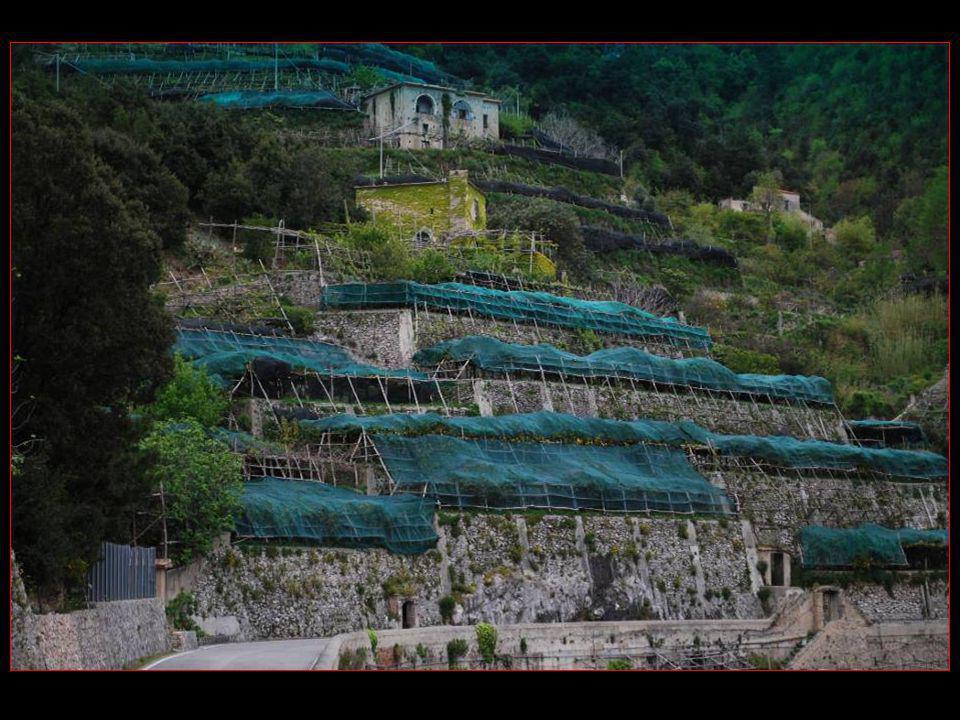 Les citrons cultivés en terrasses et protégés avec des filets
