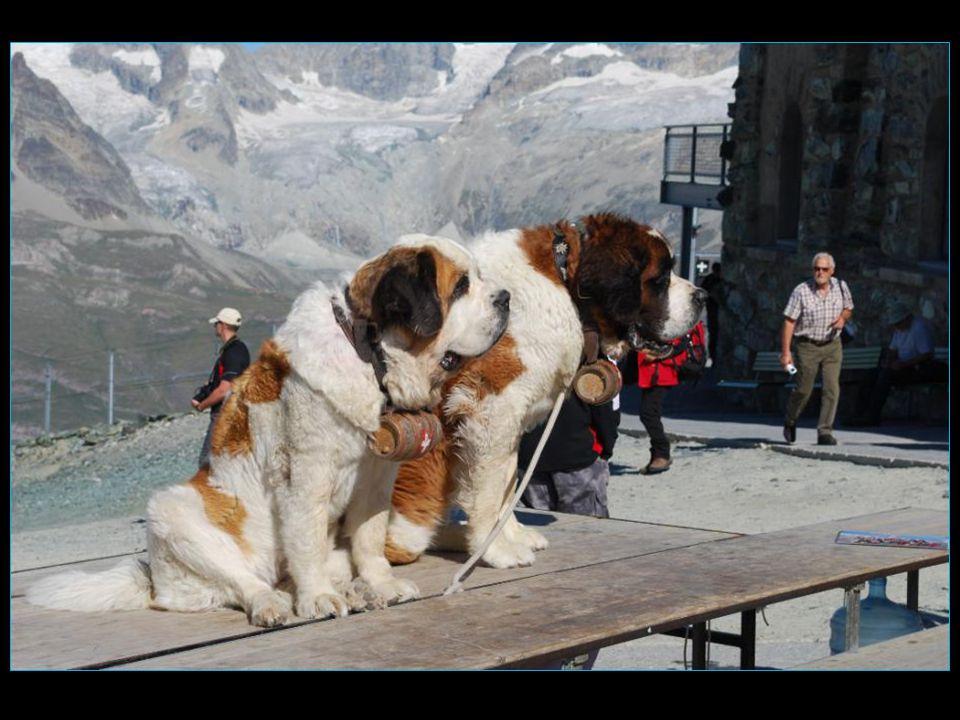 les chiens Saint - Bernard accueil par