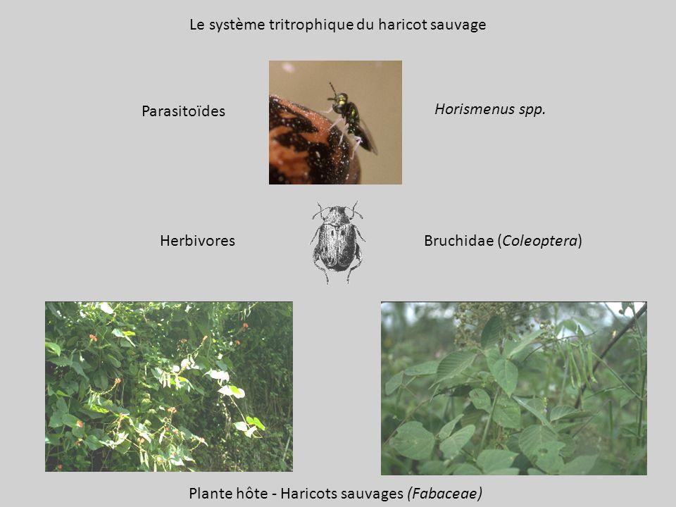 Horismenus spp.