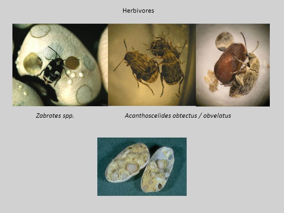 Zabrotes spp.Acanthoscelides obtectus / obvelatus Herbivores